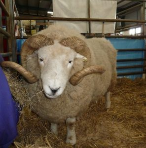 Exmoor Horn ram - a thing of beauty