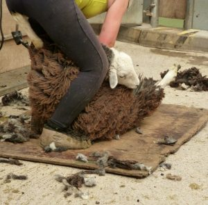 Cathy Cassie shearing a Herdy
